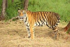 Erwachsene Tigerstellung Stockfotos