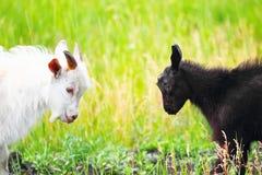 Erwachsene und junge Ziegen, die mit ihren Köpfen kämpfen Stockfoto