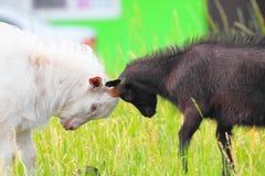 Erwachsene und junge Ziegen, die mit ihren Köpfen kämpfen Stockbilder