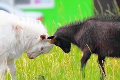 Erwachsene und junge Ziegen, die mit ihren Köpfen kämpfen Stockfotografie