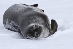 Erwachsene Weddellrobbe, die in der Schnee Antarktis liegt Stockbilder