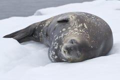 Erwachsene Weddellrobbe, die in der Schnee Antarktis liegt Lizenzfreie Stockfotos