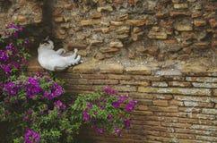 Erwachsene wei?e Streukatze, die auf einer Backsteinmauer nahe einigen rosa Blumen in Rom, Italien ein Schl?fchen h?lt stockfotos