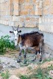 Erwachsene Ziege, die nahe dem Gebäude liegt Stockfoto