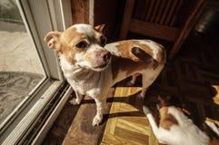 Erwachsenen Chihuahua, die draußen gehen wünschen lizenzfreie stockbilder