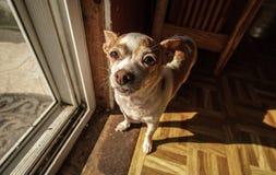 Erwachsenen Chihuahua, die eine Eingangstür mit Fliegengitter bereitstehen lizenzfreies stockfoto