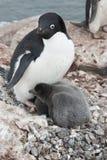 Erwachsener Adelie-Pinguin und -küken im Nest. Lizenzfreie Stockfotografie