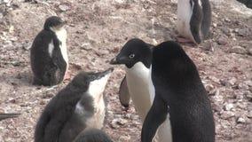 Erwachsener Adelie-Pinguine, die bereits große Küken in der Kolonie einziehen stock video