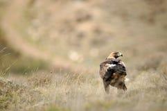 Erwachsener Adler auf dem Gebiet der Spitzen Stockfotografie