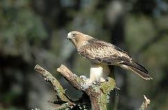 Erwachsener Adler auf einer Hauptverkehsstraße Lizenzfreie Stockfotos