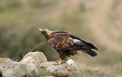 erwachsener Adler, der gen Himmel schaut Lizenzfreie Stockfotografie