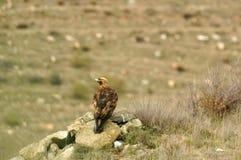 Erwachsener Adler, der sein Gebiet aufpasst Lizenzfreies Stockfoto