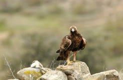 Erwachsener Adler, der sein Opfer aufpasst Lizenzfreie Stockfotos