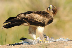 Erwachsener Adler, der seine Opferfahrbahn isst Lizenzfreies Stockfoto