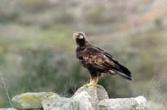 Erwachsener Adler, der vom Felsen aufpasst Lizenzfreies Stockfoto