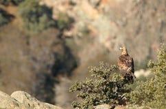 Erwachsener Adler, die Landschaft von den Felsen in den Bergen beobachtend Stockbilder