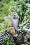 Erwachsener Affe, der im Dschungel in Indien isst Lizenzfreie Stockfotografie