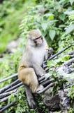 Erwachsener Affe, der im Dschungel in Indien isst Stockbild