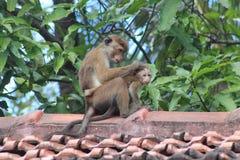 Erwachsener Affe, der sein Baby im wilden säubert Stockfoto