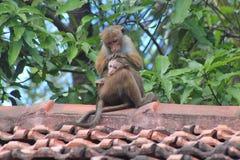 Erwachsener Affe, der sein Baby säubert Stockfotos