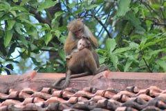 Erwachsener Affe, der sein Baby säubert Stockfotografie