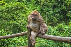 Erwachsener Affe im Emei Shan, Sichuan-Provinz, China Lizenzfreie Stockfotos