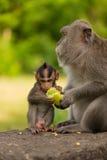 Erwachsener Affe sitzt auf dem Baum im Wald Lizenzfreie Stockfotos