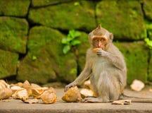 Erwachsener Affe sitzt auf dem Baum im Wald Stockfoto