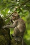 Erwachsener Affe sitzt auf dem Baum im Wald Lizenzfreie Stockfotografie
