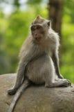 Erwachsener Affe sitzt auf dem Stein im Wald Stockfotos