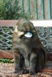 Erwachsener Affe sitzt auf einer Bank Lizenzfreies Stockfoto