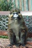 Erwachsener Affe sitzt auf einer Bank Stockbild