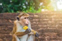 Erwachsener Affe in Sri Lanka-Wald Stockfoto