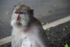 Erwachsener Affe, Ubud, Indonesien Stockfotografie