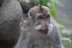 Erwachsener Affe, Ubud, Indonesien Stockfoto