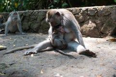 Erwachsener Affe zieht Baby ein Stockbild