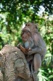 Erwachsener Affe zieht Baby ein Stockfotografie