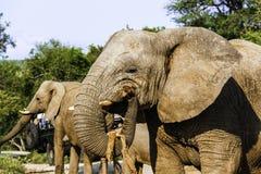 Erwachsener afrikanischer Buschelefant lizenzfreies stockfoto