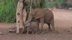 Erwachsener afrikanischer Elefant mit einem Baby von einem toten Baum essen Ameisen in Samburu stock video