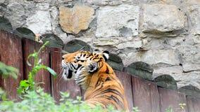 Erwachsener Amur-Tiger stock footage