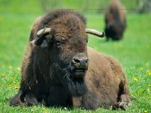 Erwachsener Büffel, der auf Gras stillsteht Stockbild