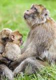 Erwachsener Barbary-Makaken u. x28; Macaca sylvanus& x29; Prophezeien mit zwei Jungen J Stockfotografie
