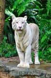 Erwachsener Bengal-Weiß-Tiger lizenzfreie stockfotografie