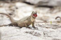 Erwachsener Brown-Leguan, der auf dem Felsen betrachtet die Kamera isst Traube sitzt Lizenzfreie Stockbilder