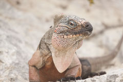 Erwachsener Brown-Leguan, der auf Felsen mit Fliege auf der Schulter betrachtet Kamera sitzt Stockfotos