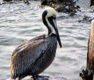 Erwachsener Brown-Pelikan Stockfoto