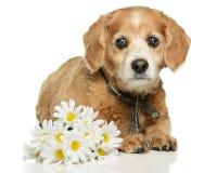 Erwachsener Cockapoo Hund stockbilder