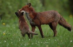 Erwachsener des roten Fuchses mit Jungem Stockfotografie