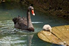 Erwachsener des schwarzen Schwans und kleines Schwimmen der schwarzen Schwäne im Teich lizenzfreie stockfotografie