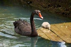 Erwachsener des schwarzen Schwans und kleines Schwimmen der schwarzen Schwäne im Teich stockfoto
